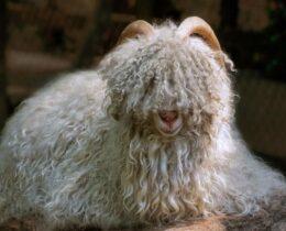 Stoffkunde: Was ist Kaschmirwolle - Kaschmir Schaf